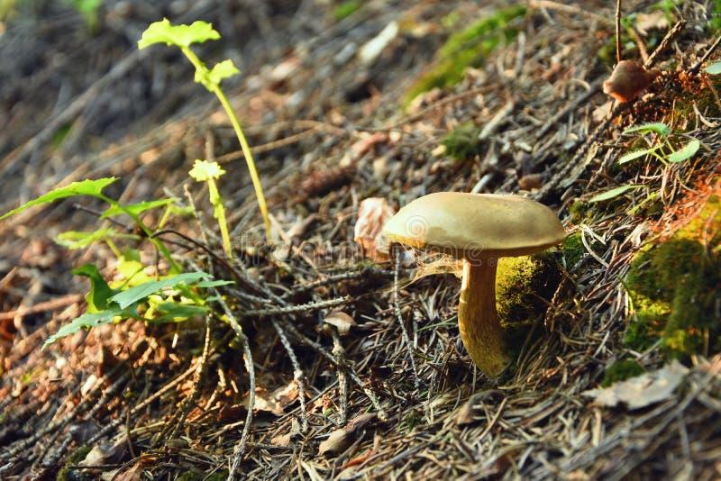 Nya små champinjoner i en djup skog royaltyfri bild
