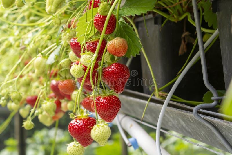 Nya smakliga mogna röda och omogna gröna jordgubbar som växer på jordgubbelantgård royaltyfri bild