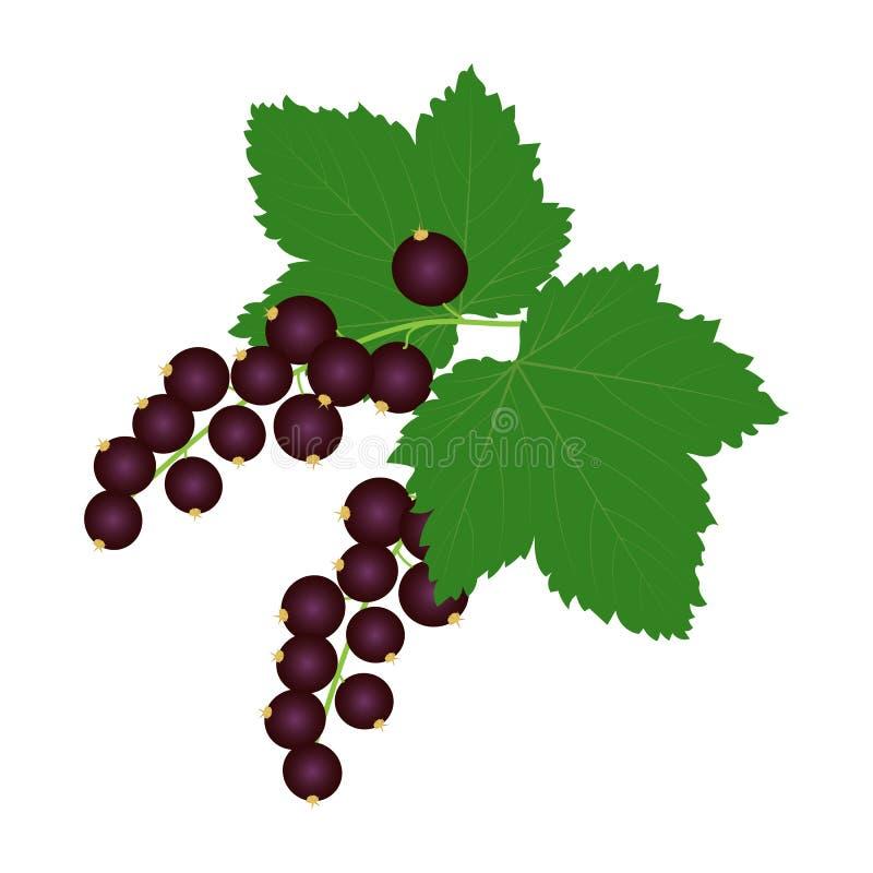 Nya svarta vinbär med sidor stock illustrationer
