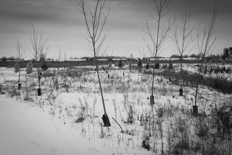 Nya tillväxtträd i ogräsbevuxet snötäckt fält royaltyfria bilder