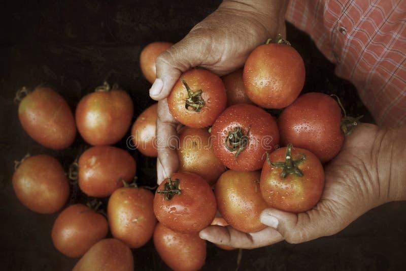 Download Nya tomater fotografering för bildbyråer. Bild av leaf - 37346963