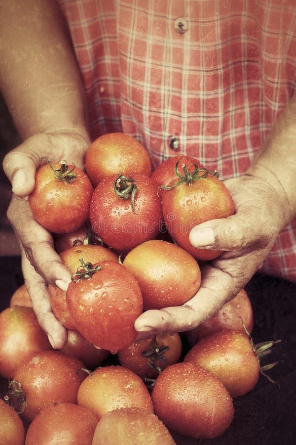 Download Nya tomater arkivfoto. Bild av leaf, friskhet, organiskt - 37348828