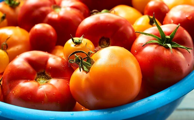 Nya tomater, rött och gult, med droppar av vatten i blå stor bunke royaltyfria bilder