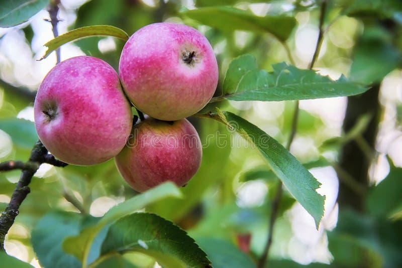 Nya tre och läckert rött med liten guling-gräsplan spots äpplet på en pinne med gröna sidor royaltyfri bild