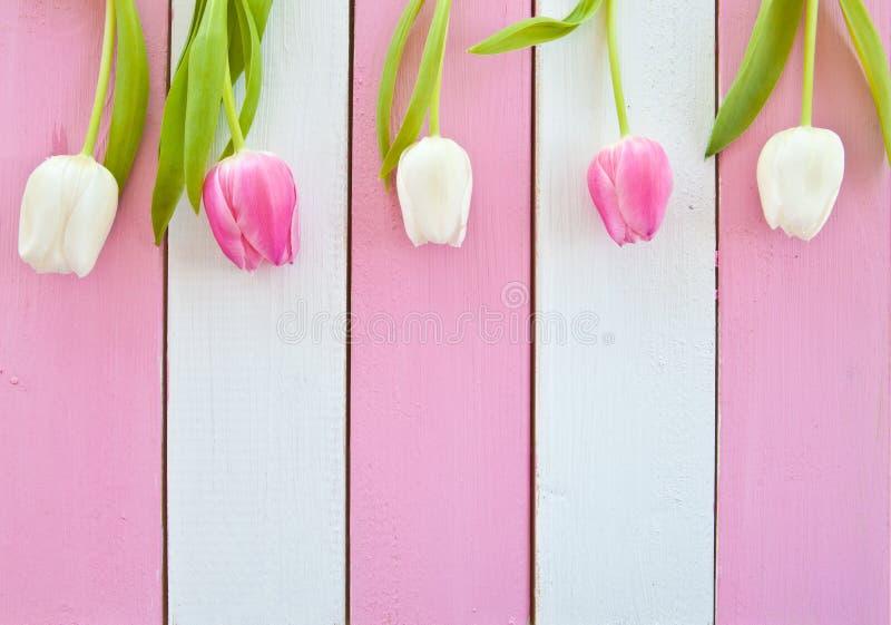 Nya tulpan på rosa färger och vit royaltyfria foton