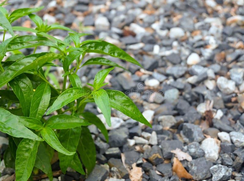 Nya växt-, Kariyat eller Andrographis Paniculata växter arkivfoton