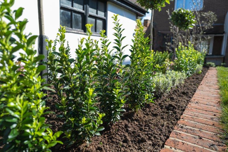 Nya växter, inklusive häckträd som planterats i en blombädd som är kantad av tegel framför en vit vägg i ett kuvert eller ett gar arkivbilder
