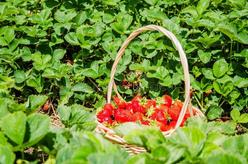 Nya valda jordgubbar i en korg på ett grönt fält royaltyfri bild