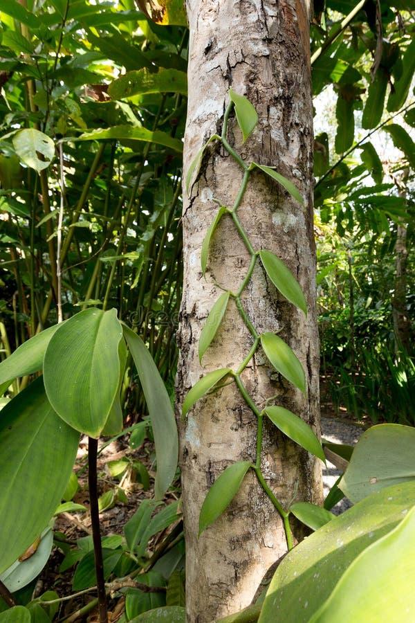 Nya vaniljsidor på träd arkivfoto
