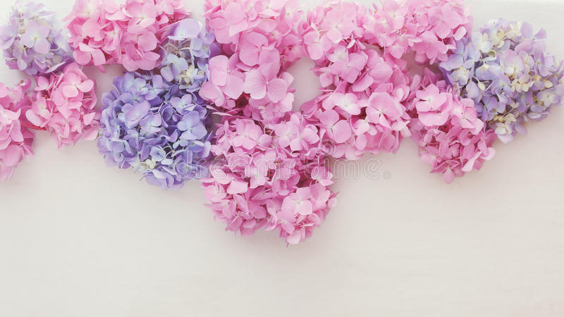Nya vanlig hortensiablommor royaltyfria foton