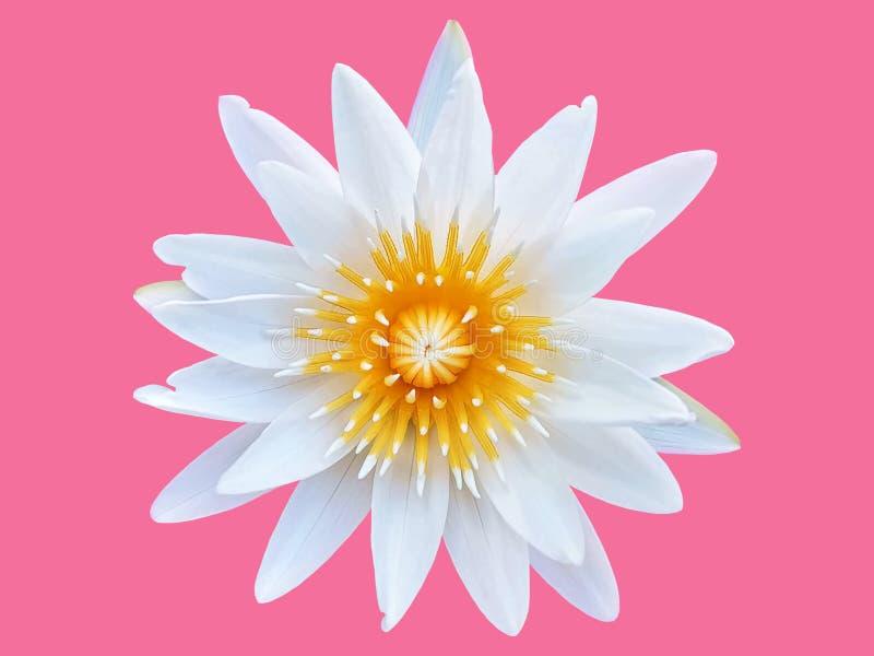 Nya vita Lotus Flower med gult pollen som isoleras på rosa bakgrund arkivbilder