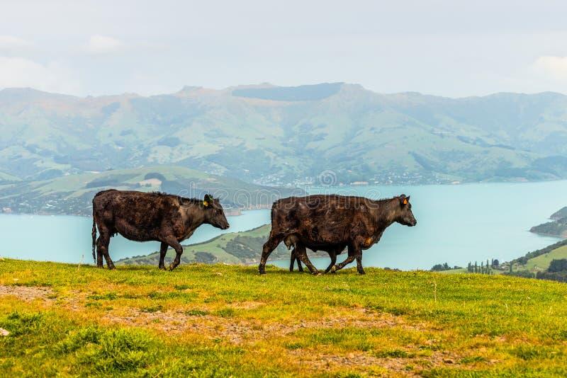 Nya Zeeland kor och kalv royaltyfri bild