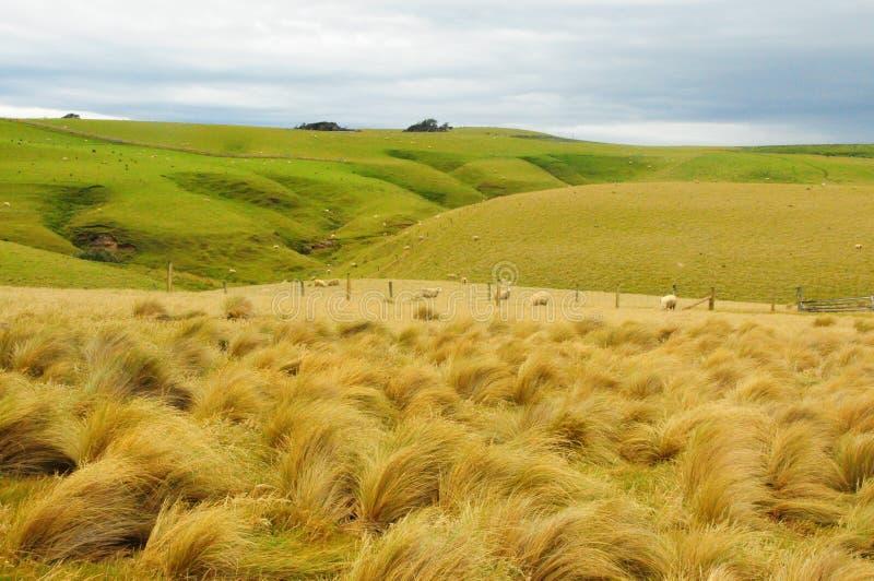 Nya Zeeland tuva arkivbilder