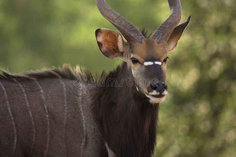 nyala антилопы стоковые фотографии rf