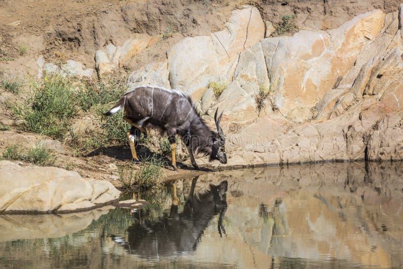 Nyala в национальном парке Kruger, Южной Африке стоковые фотографии rf