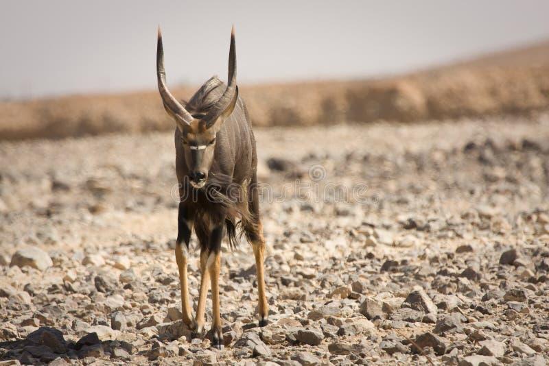 nyala мужчины антилопы стоковое изображение