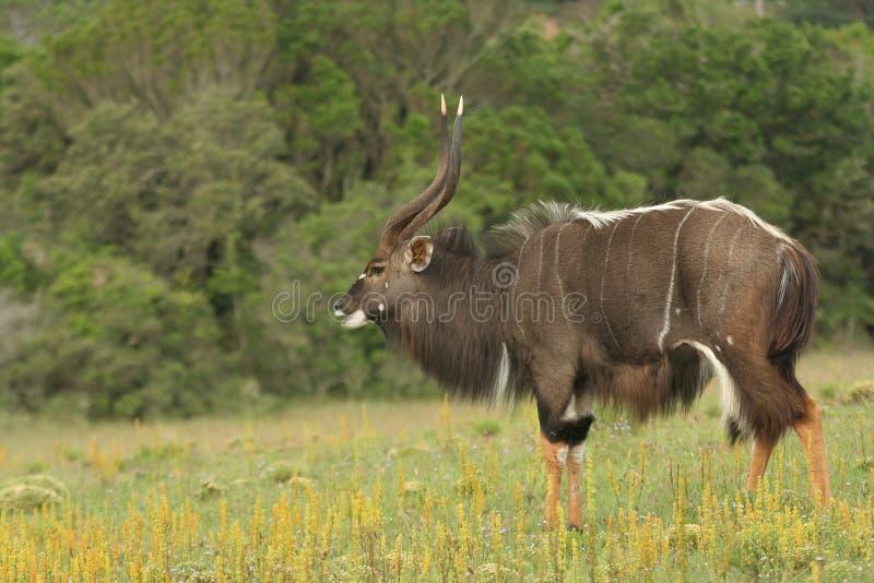 nyala мужчины антилопы стоковая фотография rf