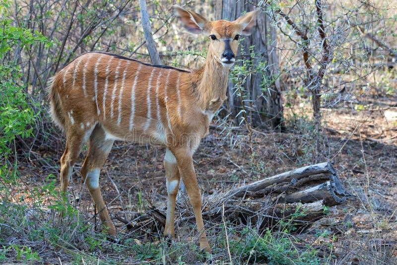 Nyala на национальном парке kruger стоковое изображение rf