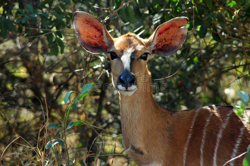 Nyala. Female Nyala, Kruger National Park South Africa royalty free stock image