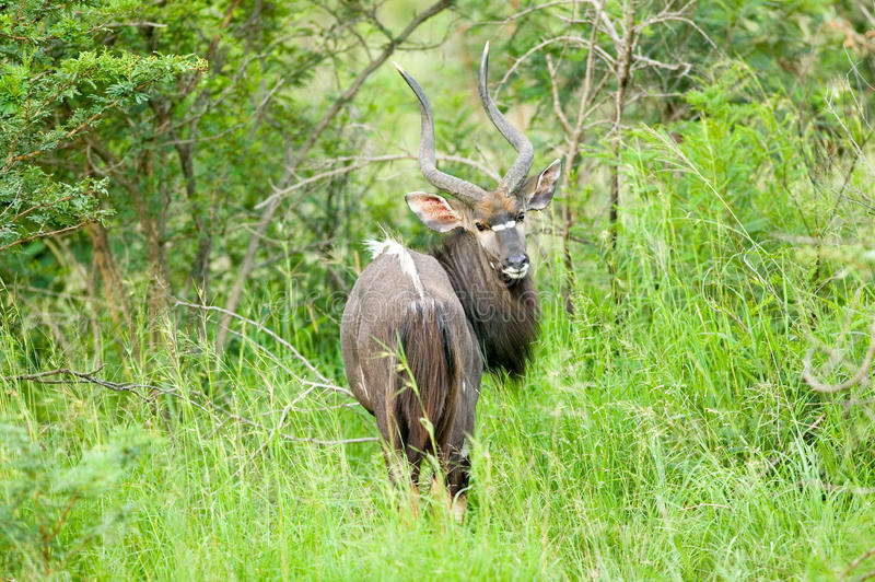 Nyala, also called Bushbuck in Umfolozi Game Reserve, South Africa, established in 1897 stock photography