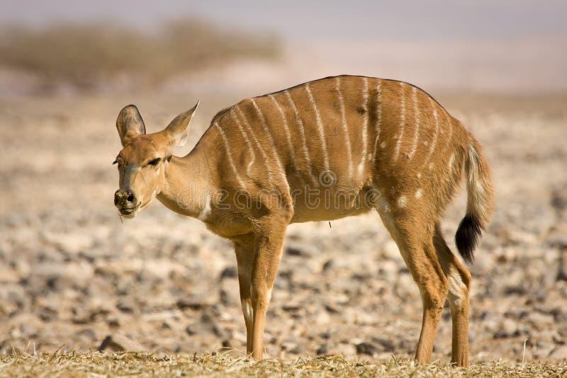 Nyala antelope stock photo