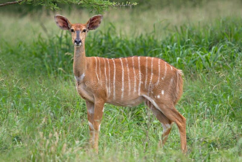 Download Nyala antelope stock photo. Image of natural, watchful - 15701100