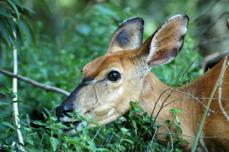 Nyala antelope stock photography