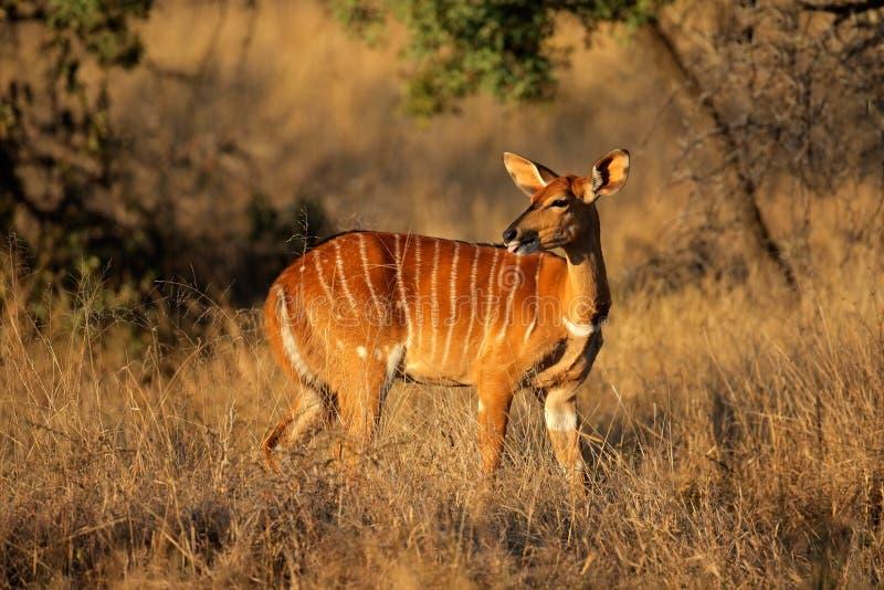 Download Nyala antelope stock image. Image of wild, angasii, watchful - 20776849
