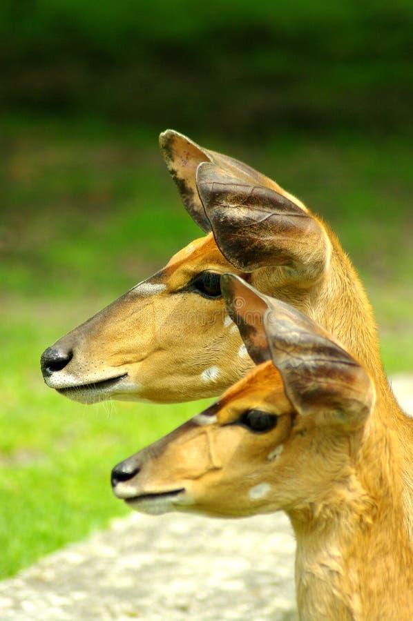 Download Nyala antelope closeup stock photo. Image of conservation - 28501494