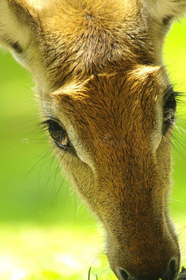 Download Nyala antelope closeup stock image. Image of ungulate - 28501543