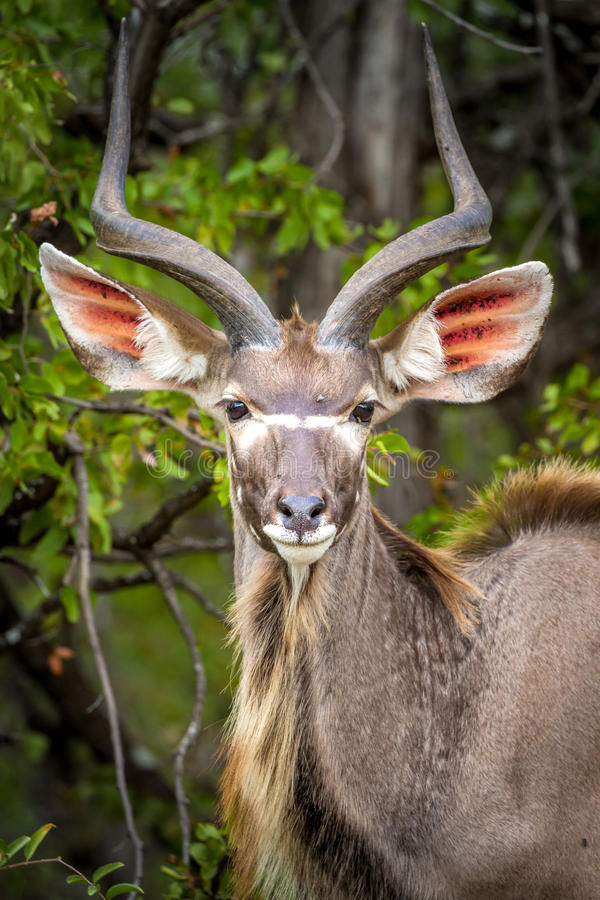 Nyala antelope, Kruger National Park, South Africa stock photography