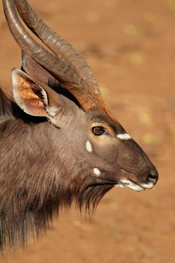 Free Nyala Antelope Portrait Royalty Free Stock Photo - 37072955