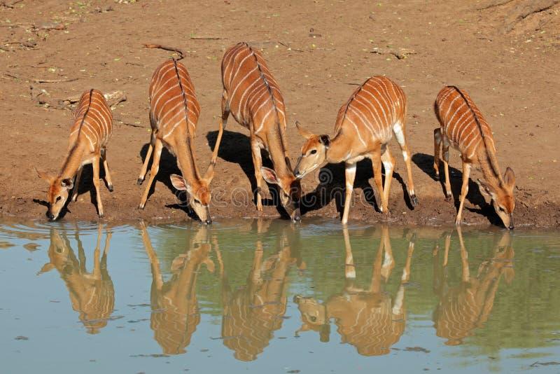 Download Nyala antelopes drinking stock photo. Image of drinking - 39326406