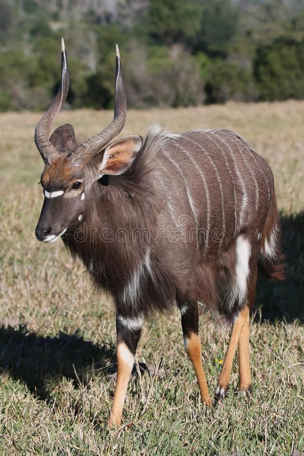 Nyala-Antilope lizenzfreies stockfoto