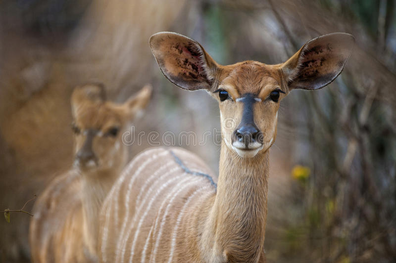 Nyala buck in South Africa royalty free stock photo