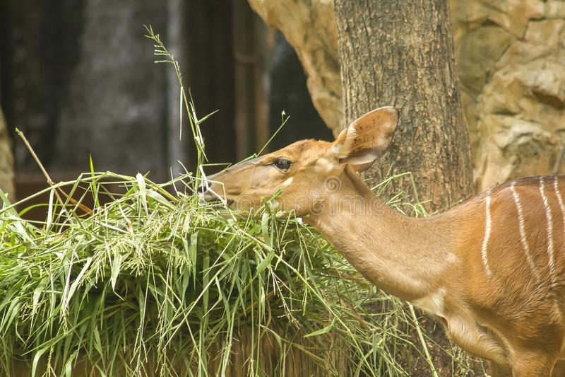 Nyala dans le zoo qui attrapent l'herbe image stock