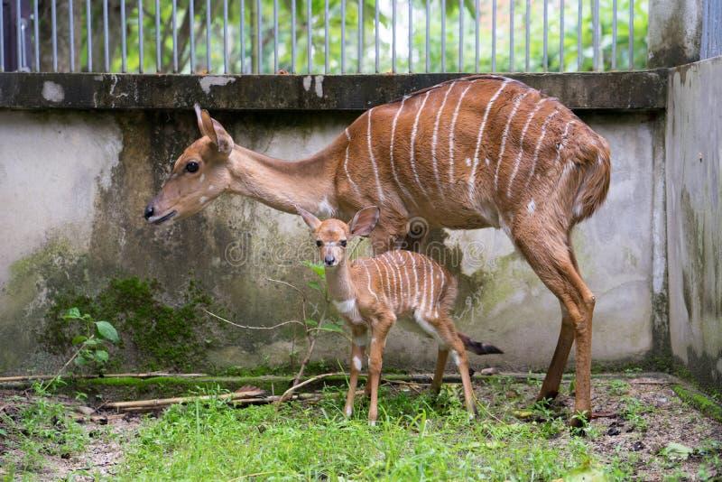 Nyala e mãe novos foto de stock royalty free
