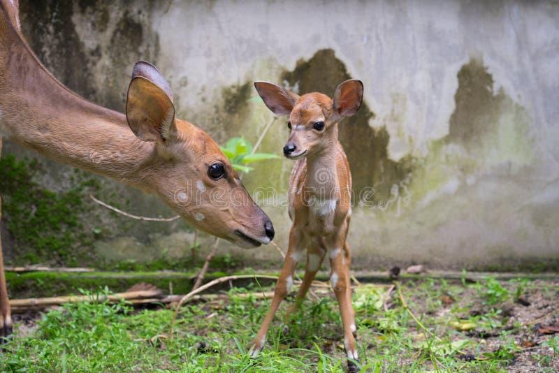 Nyala e mãe novos foto de stock