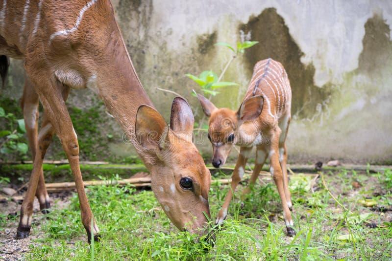 Nyala e mãe novos fotos de stock royalty free