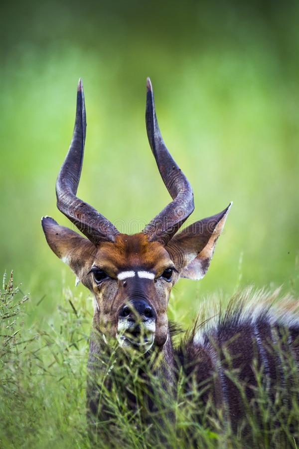 Nyala en el parque nacional de Kruger, Suráfrica fotografía de archivo libre de regalías
