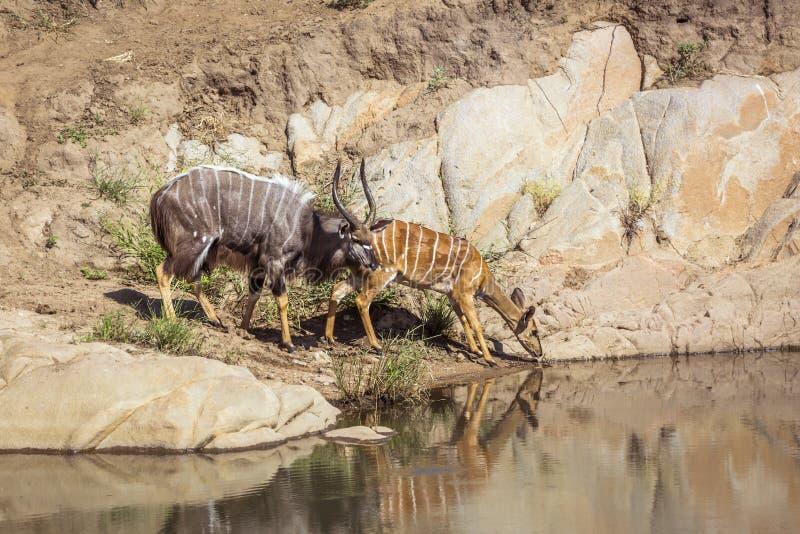 Nyala en el parque nacional de Kruger, Suráfrica foto de archivo libre de regalías