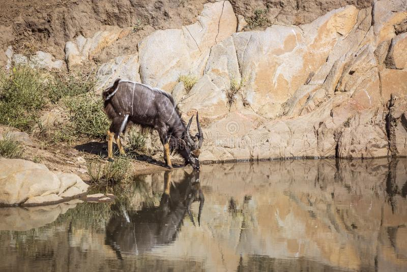Nyala en parc national de Kruger, Afrique du Sud photo libre de droits