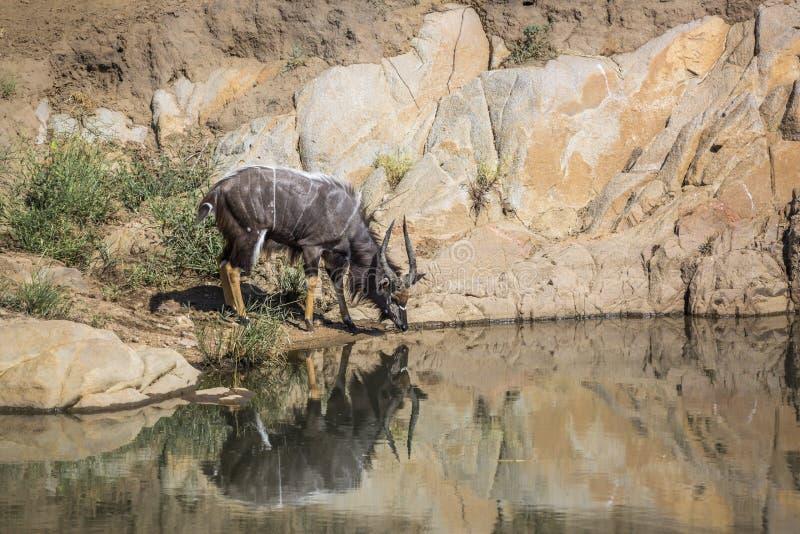 Nyala en parc national de Kruger, Afrique du Sud photos stock