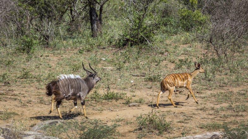 Nyala en parc national de Kruger, Afrique du Sud photographie stock libre de droits