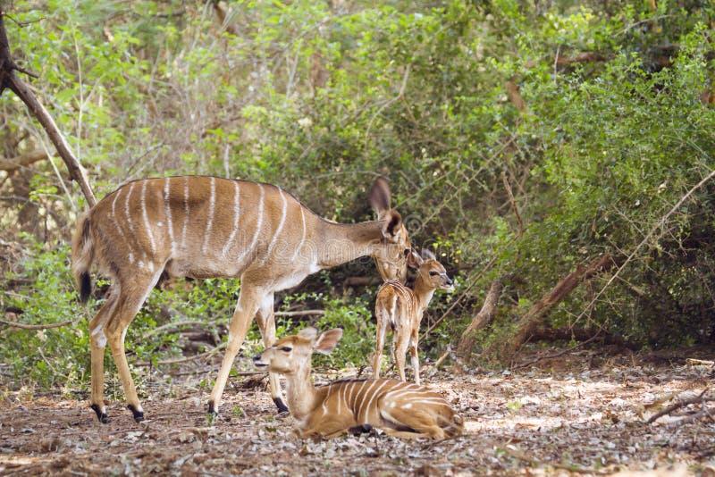 Nyala et bébé féminins en parc national de Kruger, Afrique du Sud photo libre de droits
