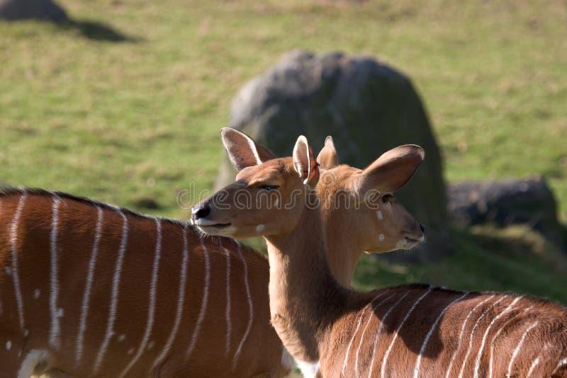 Nyala ewe antelopes royalty free stock image