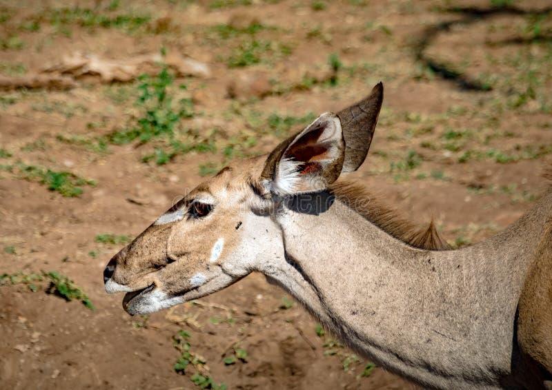 Nyala female near the Chobe river in Botswana. During summer stock photos