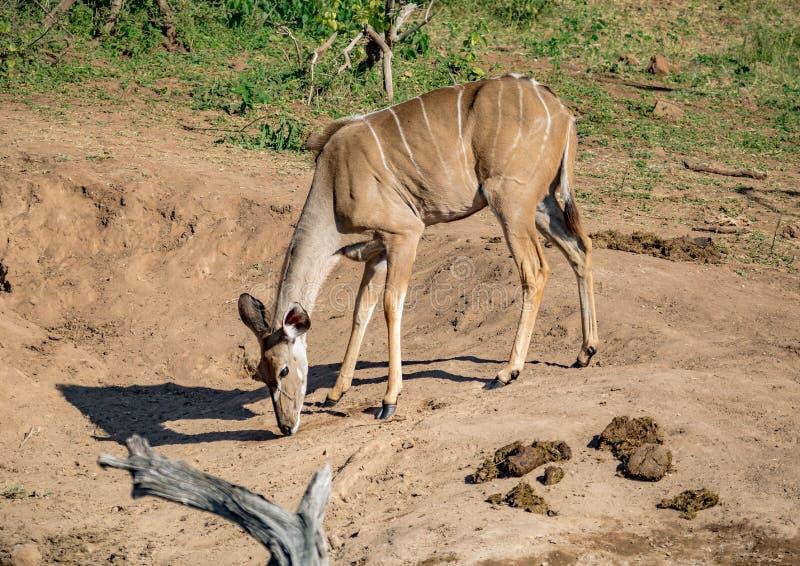 Nyala female near the Chobe river in Botswana. During summer royalty free stock photo