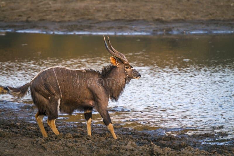 Nyala i den Kruger nationalparken, Sydafrika arkivbild