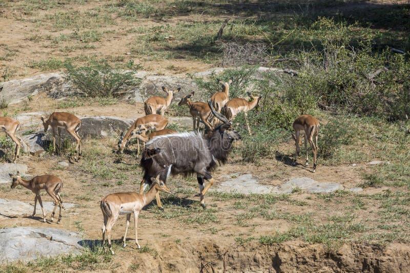 Nyala i den Kruger nationalparken, Sydafrika royaltyfria bilder